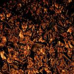 sehr große Wochenstube vom Großen Mausohr mit mehr als 1000 Induviduen