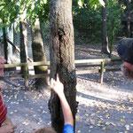Baumhöhle mit Kleinen Abendseglern