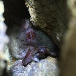 Fransenfledermaus (Myotis nattereri) im Winterschlaf in einem Stollen