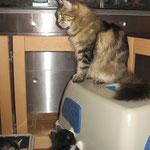 Daisy 6 Jahre  und 5 Monate alt  mit Söhnchen Maximus  36 Tage und Norwegerchen Leonardo 44 Tage alt