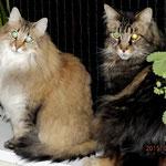Galileo 8 Jahre und 4 Monate akt mit Penelope (Norw.Waldk.) 5 Jahre und 3 Monate alt