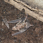 am Boden liegen oft Skelette und Mumien verendeter Fledermäuse