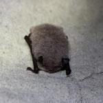 Wasserfledermaus überwinternd in eine Keller, das Fell ist bereift