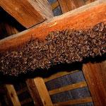 Wimperfledermauswochenstube (Myotis emarginatus) auf einem Dachboden
