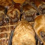 Große Abendsegler beziehen gerne auch flache Fledermauskösten