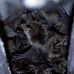 Bechsteinfledermauswochenstube (Myotis bechsteinii) in einem Fledermauskasten