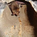 Mausohr-Männchen in Fledermauskasten