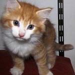 Tomcat 8 Wochen alt