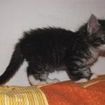 Ursus 6 Wochen alt