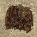 Wimperfledermäuse (Myotis emarginatus) im Winterschlaf in einem Keller