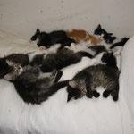 Dime 8 Wochen alt mit Cosmo und allem ihren Geschwistern