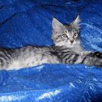 Gizmo 12 Wochen alt