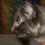 Banshee 10 Wochen alt