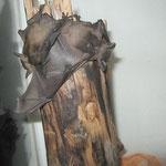 Breitflügelfledermaus 8 Tage alt