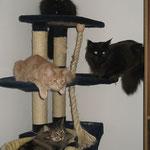 Cosmo 4 Jahre und 9 Monate  alt  mit Pierroth, Coonie Easy und Hauskatze Cindy