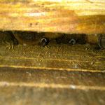 Große Abendsegler im Fledermauskasten