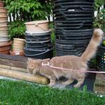 Pierroth 6,5 Monate alt an der Leine im Garten
