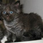 Banshee 6 Wochen alt