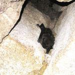 Breitflügelfledermaus in einem Keller