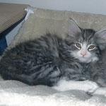 Figaro 12 Wochen alt