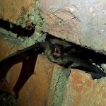 Kleine Bartfledermaus in einem Keller
