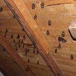 Ein Fortpflanzungsquartier auf einem Dachboden, teilweise schon mit Jungen