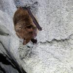 Wimperfledermaus im Winterschlaf