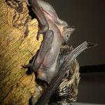 Zweifarbfledermaus 1 Tag alt in der Pflegestation