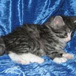 Figaro 6 Wochen alt