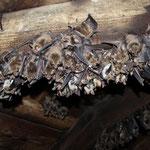 Mausohrwochenstube (Myotis myotis) in einem Kirchturm
