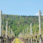Die Weinberge von Hohenhaslach