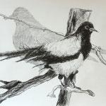 Elster (studie (2016, Graphit/Papier, 42x59 cm)