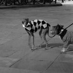 Dog meeting for discussing the newest fashion trends - Barcelona