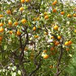 Orangen im Februar