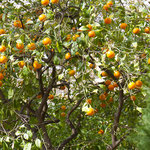 Die Orangen sind fast reif