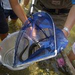 場所は宮川ですが、稚魚がこんな大きなウナギに成長しました。