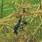 Marienkäfer und Ameisen an Blattläusen - Foto: Ingo Pedal