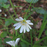 Sternmiere, Stellaria  - Foto I. Pedal