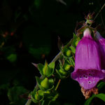 Fingerhut am Wegesrand  (PeWe)