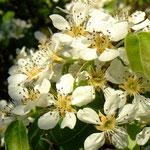 Blüten der Birne - Bild: Peter W.