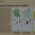 Mammutbäume: Nur 3 Arten haben die Zeiten überlebt  (Foto: PeWe)