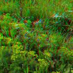 Wolfsmilch und andere Blüten