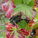 Herbstblätter und blaue Trauben  - Foto W. Seidel