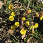 Huflattich: Kleine Blüten, aber später mit Riesenblättern - Foto: Ingo Pedal
