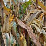 Der Mais stammt aus Mexiko, gelangte dann nach Südamerika und durch Kolumbus nach Europa