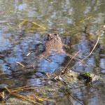 ...Kröten und ihre Laichschnüre - Foto: Ingo Pedal
