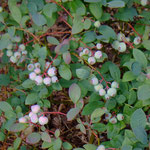 Amerikanische Heidelbeere (Züchtung) (PeWe)