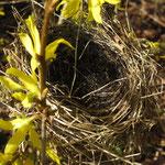Schau, in der Forsythie ist ein Nesterl gebaut... - Foto: Ingo Pedal