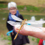 Eine Libelle auf dem Finger - Foto I. Pedal