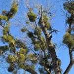 Misteln schmarotzen in den Zweigen - Bild: Ingo Pedal